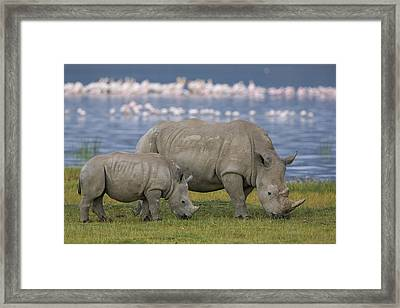 White Rhino Mother And Calf Grazing Framed Print by Ingo Arndt