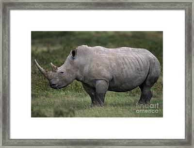 White Rhinoceros Ceratotherium Simum Framed Print