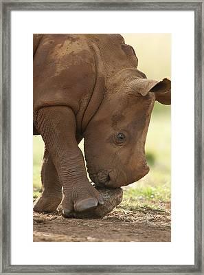 White Rhinoceros Ceratotherium Simum Framed Print by Matthias Breiter