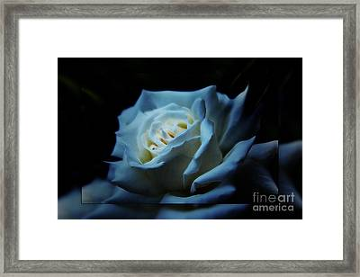White Rose 2 Framed Print