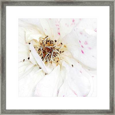 White Rose Framed Print by Amy Williams
