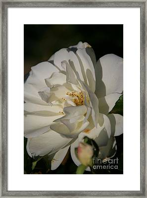 White Rose Framed Print by Andrea Jean