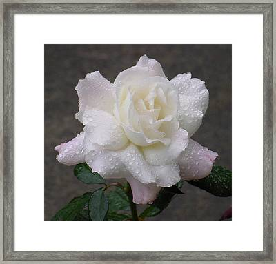White Rose In Rain - 3 Framed Print