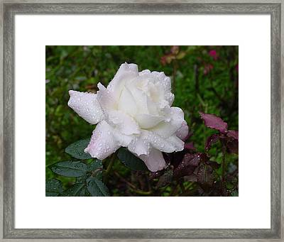 White Rose In Rain Framed Print