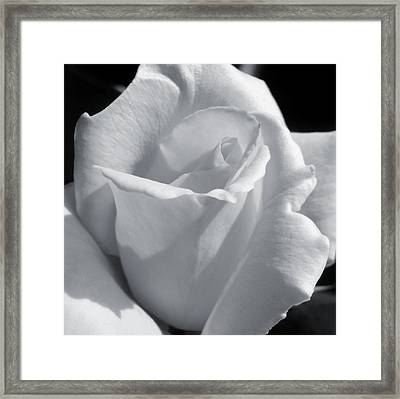 White Rose Framed Print by JAMART Photography