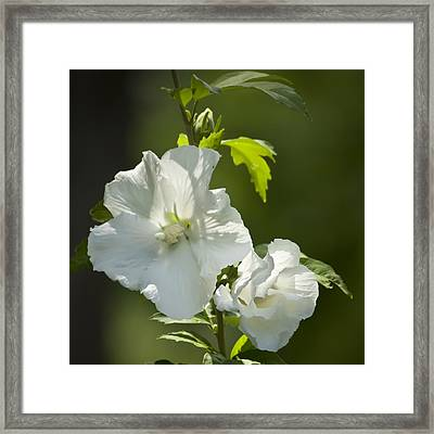 White Rose Of Sharon Squared Framed Print
