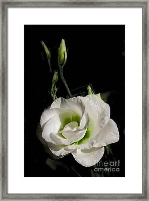 White Rose On Black Framed Print