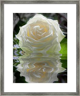 White Rose Reflection Framed Print