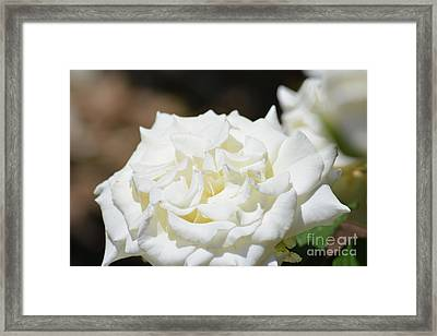 White Rose  Framed Print by Ruth Housley