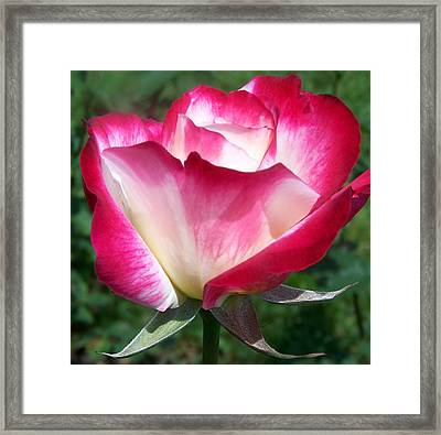 White Rose Tinged In Red Framed Print by Lois Mountz