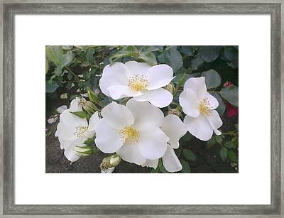 White Roses Bloom Framed Print