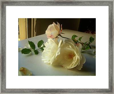White Roses In Afternoon Light Framed Print