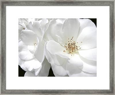 White Roses Macro Framed Print