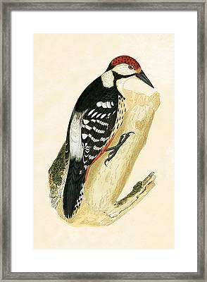 White Rumped Woodpecker Framed Print by English School