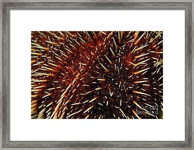 White Sea Urchin Framed Print by Sami Sarkis