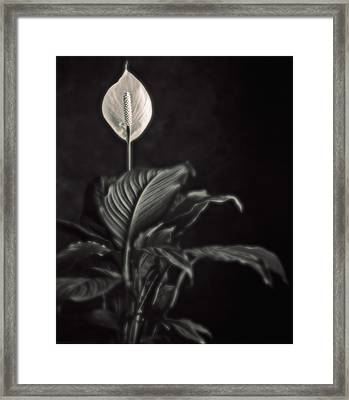 White Skunk Cabbage Framed Print by Joseph Gerges