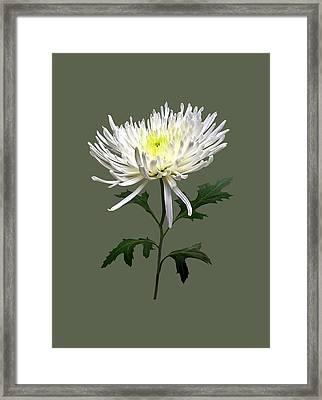 White Spider Mum Framed Print by Susan Savad