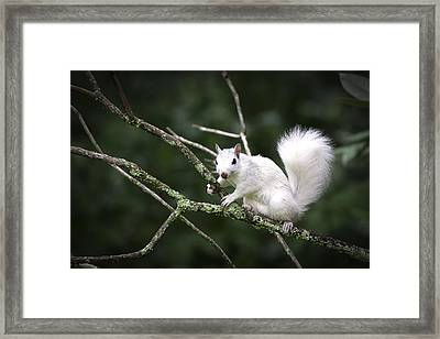White Squirrel On Branch Framed Print