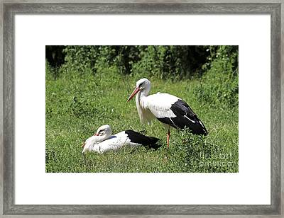 White Storks Framed Print