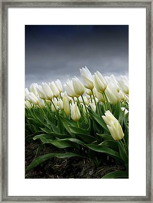 White Stormy Tulips Framed Print by Karla DeCamp
