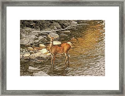 White-tail Deer At The River's Edge Framed Print