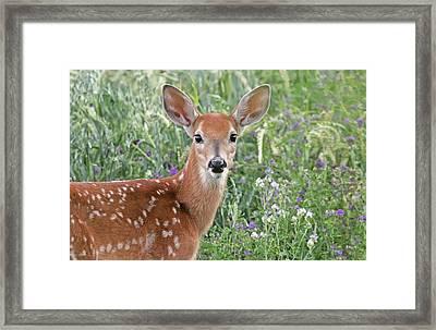 White-tail Deer Fawn Framed Print