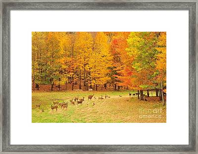 White Tail Deer Herd Framed Print by Terri Gostola