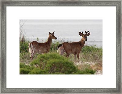 White Tail Deer Port Jefferson New York Framed Print