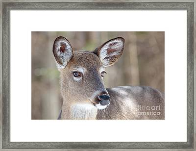 Framed Print featuring the photograph White-tailed Deer - Cerf De Virginie by Nature and Wildlife Photography