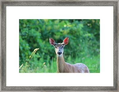 White-tailed Deer Close Encounter  Framed Print