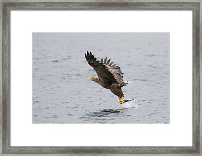 White-tailed Eagle Catching Dinner Framed Print