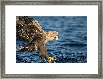 White-tailed Eagle Hunting Framed Print by Andy Astbury