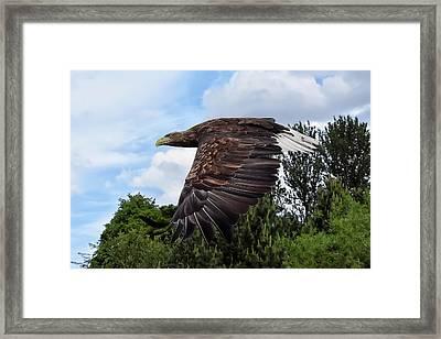 White Tailed Eagle Framed Print
