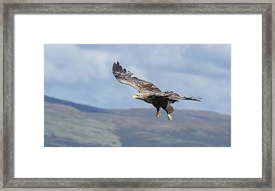 White-tailed Eagle On Mull Framed Print