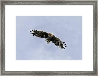 White Tailed Eagle Soaring Above Mull Scotland Framed Print