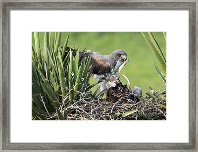 White-tailed Hawk With Snake Framed Print