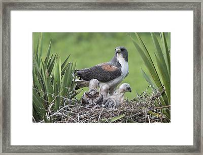 White-tailed Hawks Framed Print by Anthony Mercieca