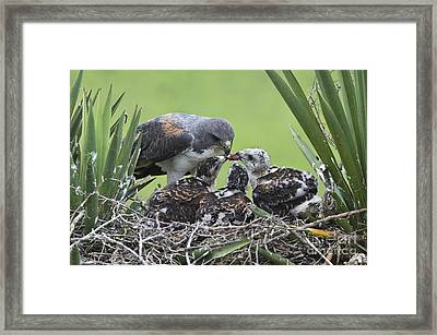 White-tailed Hawks Eating Framed Print