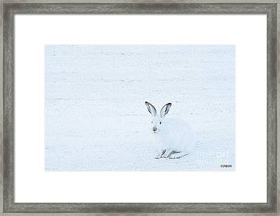 White-tailed Jack Rabbit  Framed Print