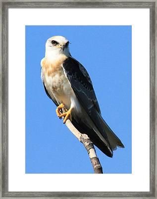 White-tailed Kite Framed Print