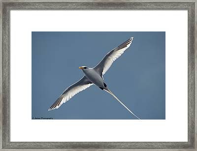 White-tailed Tropicbird Framed Print