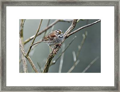 White Throated A Sparrow Framed Print by Laura Mountainspring