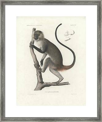 White Throated Guenon, Cercopithecus Albogularis Erythrarchus Framed Print