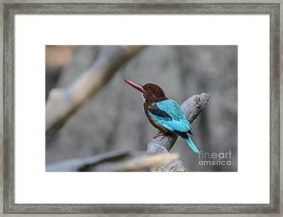 White-throated Kingfisher 02 Framed Print