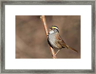 Framed Print featuring the photograph White-throated Sparrow by Mircea Costina Photography