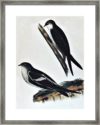 White Throated Swift Bird Framed Print