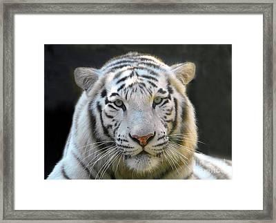 White Tiger Framed Print by David Lee Thompson