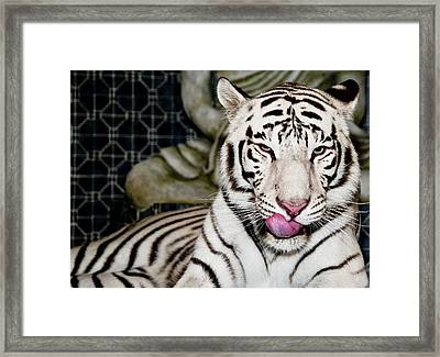 White Tiger Framed Print by Jim DeLillo