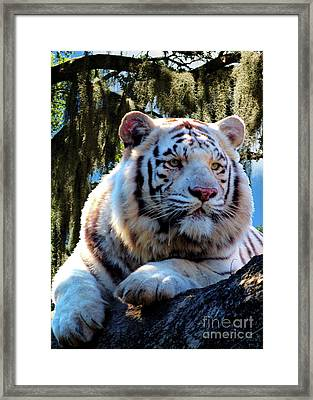 Framed Print featuring the photograph White Tiger  by Ken Frischkorn