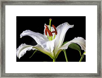 White Tiger Lily Still Life Framed Print by Garry Gay